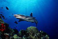 Sunrays provide the background for this portrait of a whitetip reef shark, Triaenodon obesus, at Molokini Island, Hawaii.