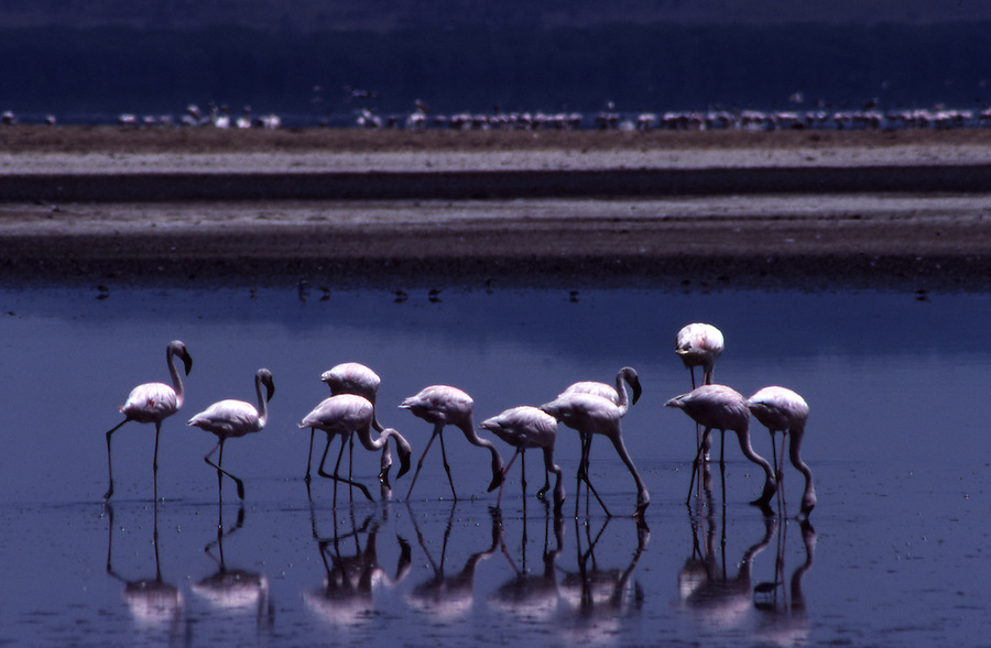 African wildlife, Greater Flamingoes, Kenya, Lake Nakuru National Park