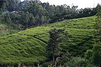 KENYA, Kisumu County, Kaimosi, women harvest tea leaves in teagarden / KENIA Frauen ernten Tee in einem kleinen Teegarten