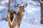 Young white-tailed deer on a cold January day.
