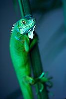 Green Iguana climbing a branch, Puerto Vallarta, Mexico