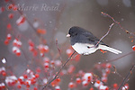 Dark-eyed Junco (Junco hyemalis) (slate-colored race) male with falling snow in winter, New York, USA
