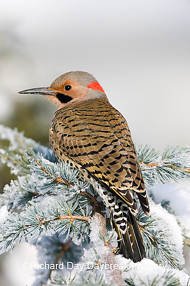 01193-014.02 Northern Flicker (Colaptes auratus) male on Blue Atlas Cedar (Cedrus atlantica 'Glauca') in winter Marion Co.  IL