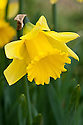 Daffodil (Narcissus 'Jedna'), a Division 2 Large-cupped variety, mid February.