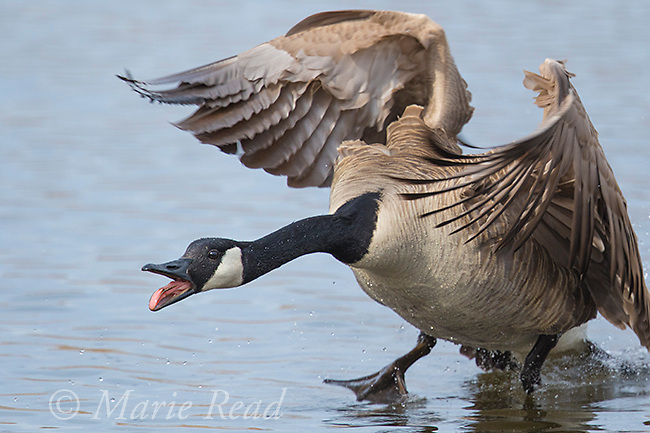 Canada Goose (Branta canadensis) landing in aggressive pose with bill open, calling, New York, USA