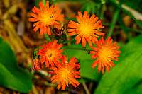 Orange Hawkweed,  Pilosella aurantiaca, an invasive species growing in the Adirondack Mountains in New York State