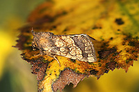 Frosted Orange Gortyna flavago Length 18-20mm. A beautifully patterned moth that rests with its wings held flat or in a tent-like manner. Adult has orange-brown wings with a yellowish central band and pale spots. Flies August-October. Laves feeds inside the stems of thistles and similar plants. Widespread but commonest in central and southern Britain.