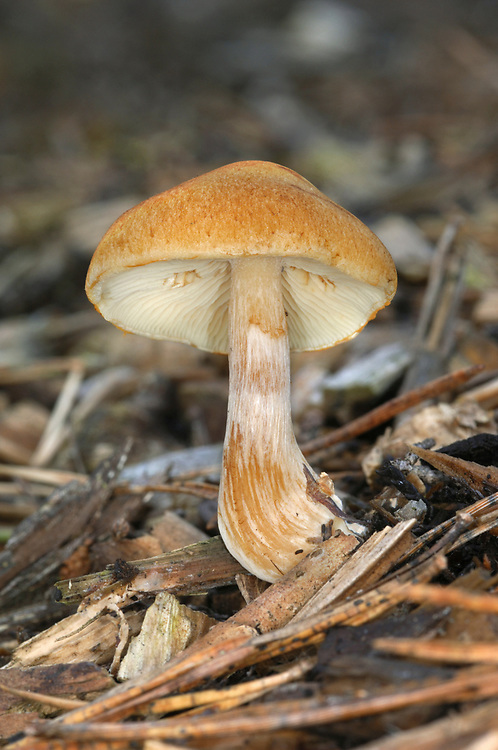 Gymnopilus hybridus