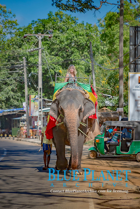 woman riding on Sri Lankan elephant, Elephas maximus maximus, in the street, Sigiriya, Sri Lanka, South Asia, MR