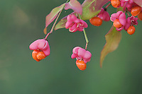 European Spindle-Tree, Euonymus europaea, fruit, fallcolors, Unterlunkhofen, Switzerland, August 2006