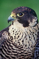 527952514 portrait of a captive peregrine falcon falco peregrinus a federally endangered species