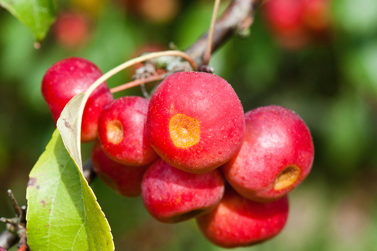 Fruits of Siberian crab apple tree (Malus baccata), late September.