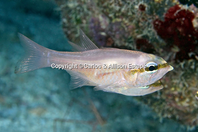 Apogon affinis, Bigtooth cardinalfish, Florida Keys