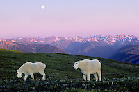 Mountain Goats (Oreamnos americanus) grazing in alpine meadow.  Washington.