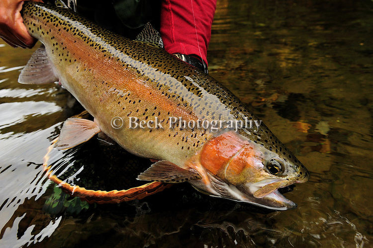 Fall rainbow trout.