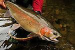 Fall rainbow trout.