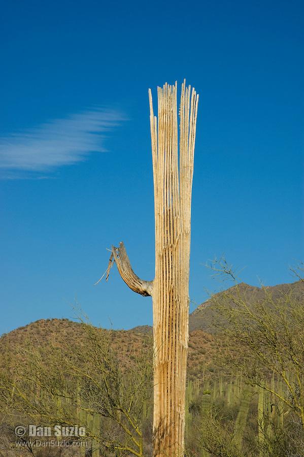 Dead saguaro, Carnegiea gigantea, Saguaro National Park, Arizona