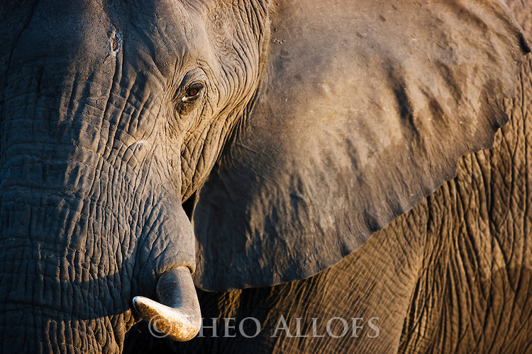 Botswana, Okavango Delta, Moremi Game Reserve, African elephant bull (Loxodonta africana) close-up of head