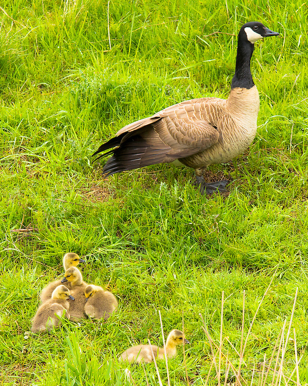 A mother Canada Goose (Branta canadensis) is standing on grassy stream bank with five new born baby chicks (goslings) huddled together in the Ridgefield National Wildlife Refuge