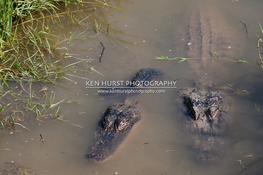 Two American alligators (Alligator mississippiensis) in a canal in Sabine National Wildlife Refuge in Louisiana.