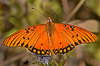 341850048 a wild gulf fritillary argualis vanillae at  the naba site in mission hidalgo county lower rio grande valley texas united states