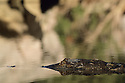 Freshwater Crocodile (Crocodylus johnstoni) refelction in water. Kimberley, WA. Threatened species