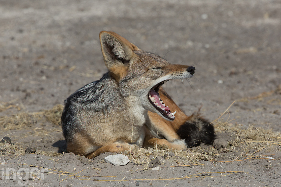A yawning Black-backed Jackal in Etosha, Namibia
