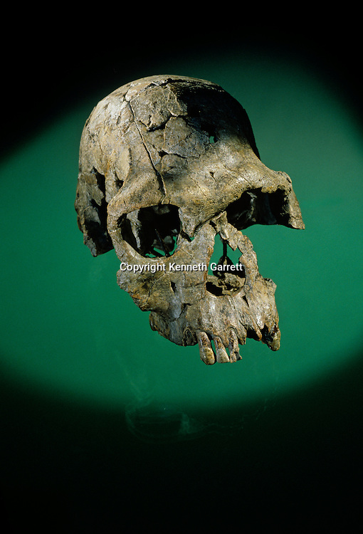 Skull,KMN-ER 1813, Homo habilis, Australopithecus habilis, 1.9 million years ago,  Kenya, Africa