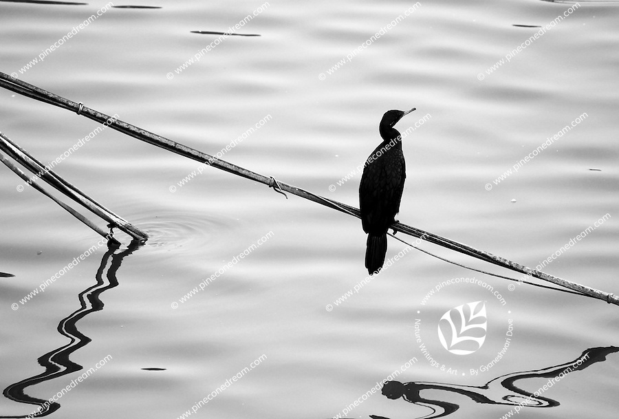 """Stock image - Black and white shot of Cormorant sitting on a stick over the water of Lakhota lake in Jamnagar, India.<br /> <br /> View the gallery - """"Birds"""" for the color version of this image."""