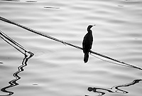 Stock image - Black and white shot of Cormorant sitting on a stick over the water of Lakhota lake in Jamnagar, India.<br />