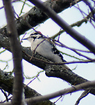 Downy Woodpecker, seen on a walk along the Saugerties Lighthouse trail in Saugerties, NY on Frisday, March 10, 2017. Photo by Jim Peppler. Copyright Jim Peppler 2017.