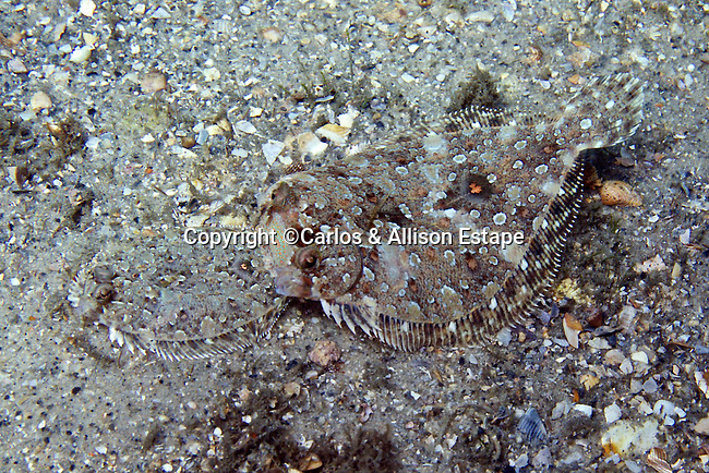 Bothus ocellatus, Eyed flounder, Blue Heron Bridge, Florida
