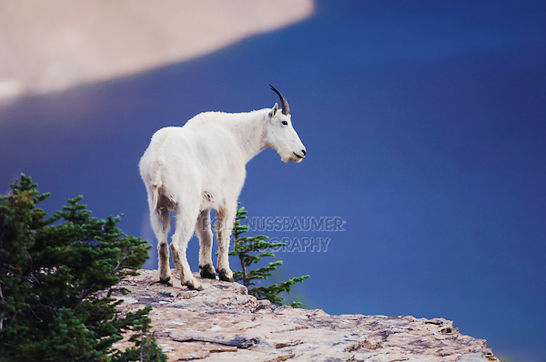 Mountain Goat,Oreamnos americanus, adult with summer coat on rock ledge over Hidden Lake, Glacier National Park, Montana, USA, July 2007