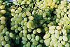 white wine grapes<br /> <br /> uvas de vino blanco<br /> <br /> Wei&szlig;weintrauben<br /> <br /> 2688 x 1801 px<br /> 150 dpi: 45,52 x 30,50 cm<br /> 300 dpi: 22,76 x 15,25 cm<br /> Original: 35 mm