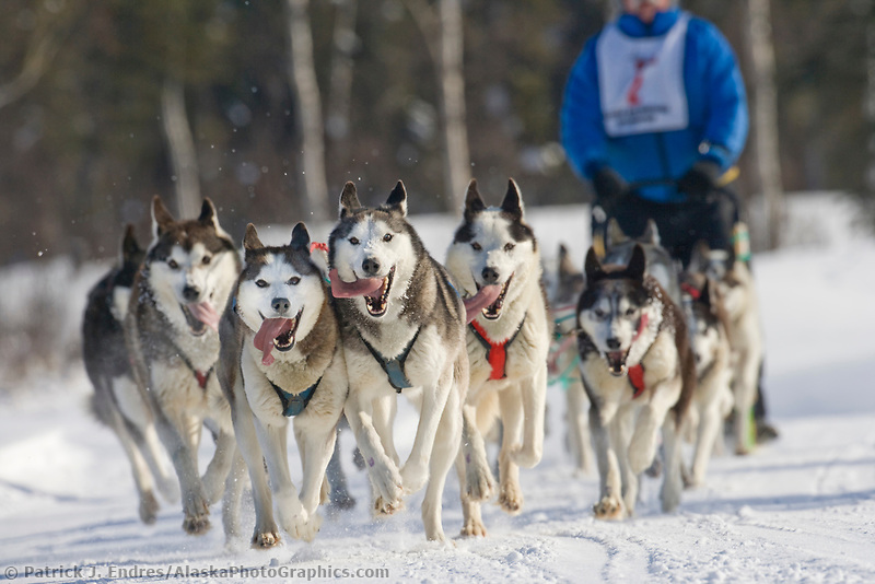 Siberian husky dog team with musher J. P. Norris during the 2007 Open North American Championship sled dog race (the world's premier sled dog sprint race) is held annually in Fairbanks, Alaska.