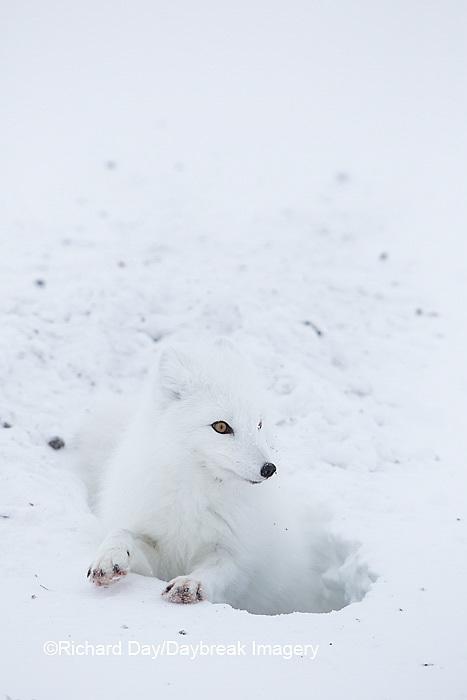 01863-01719 Arctic Fox (Alopex lagopus) at food cache, Cape Churchill, Wapusk National Park, Churchill, MB Canada