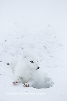 01863-01719 Arctic Fox (Alopex lagopus) at food cache, Cape Churchill, Wapusk National Park, Churchill, MB Canada