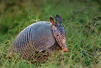 605500001 a wild nine-banded armadillo dasypus novemcintus forages in tall grass for food on a private ranch in tamaulipas state mexico
