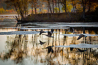 Geese taking off on a fall morning at Petit Jean State Park in Arkansas.