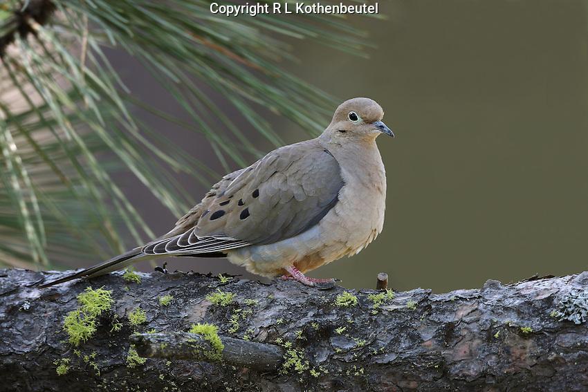 Morning dove (Zenaida macroura) Adult perched on ponderosa pine branch.<br /> Cle Elum Ridge, Kittitas County, Washington State<br /> 5/4/2009