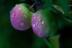 Water drops on leaves, Rashberries, Dwarf Apples, fine art, environmental, nature, ecology, ecosystem, environmentalism,    ©2013. Jim Bryant Photo. ALL RIGHTS RESERVED.
