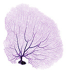 X-ray image of a purple sea fan (pink on white) by Jim Wehtje, specialist in x-ray art and design images.