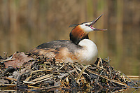 Great-crested Grebe (Podiceps cristatus), female on nest yawning, Switzerland, Europe