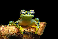 White-spotted Cochran Frog (Sachatamia albamoculata) sitting on leaf, Choco rainforest, Canande River Nature Reserve, Ecuador, South America