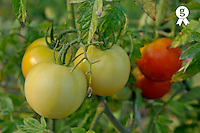 Green and red tomatoes on vine (Licence this image exclusively with Getty: http://www.gettyimages.com/detail/95574861 )
