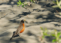 Strangely, a North American Robin can be found along the Hulahula River, which runs through Alaska's Brooks Range and the Coastal Plain in the Arctic National Wildlife Refuge.