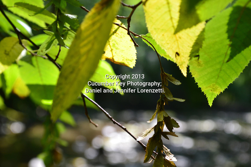 A study of late summer leaves over a stream at Glen Helen Nature Preserve in Ohio.