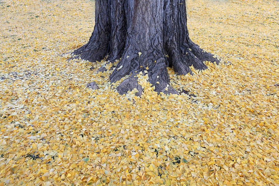 Fallen leaves surrounding the gingko tree at the University of Virginia.