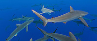 RM0639-Dp. Silky Sharks (Carcharhinus falciformis), dozens gathered together to feed on small fish in baitball (out of frame). Baja, Mexico, Pacific Ocean. Cropped to panorama from native horizontal format.<br /> Photo Copyright &copy; Brandon Cole. All rights reserved worldwide.  www.brandoncole.com