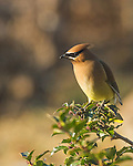 Cedar Waxwing in holly bush